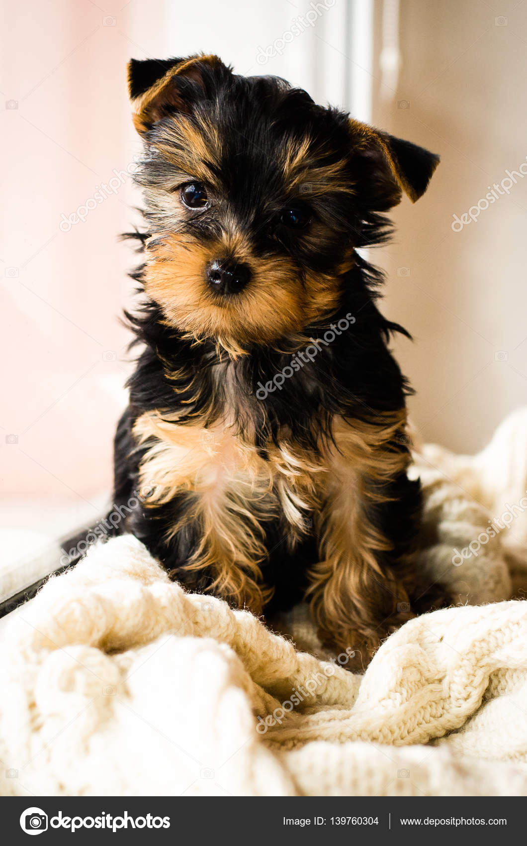 Yorkshire Terrier Puppy Sitting 3 Months Old On White Knitted
