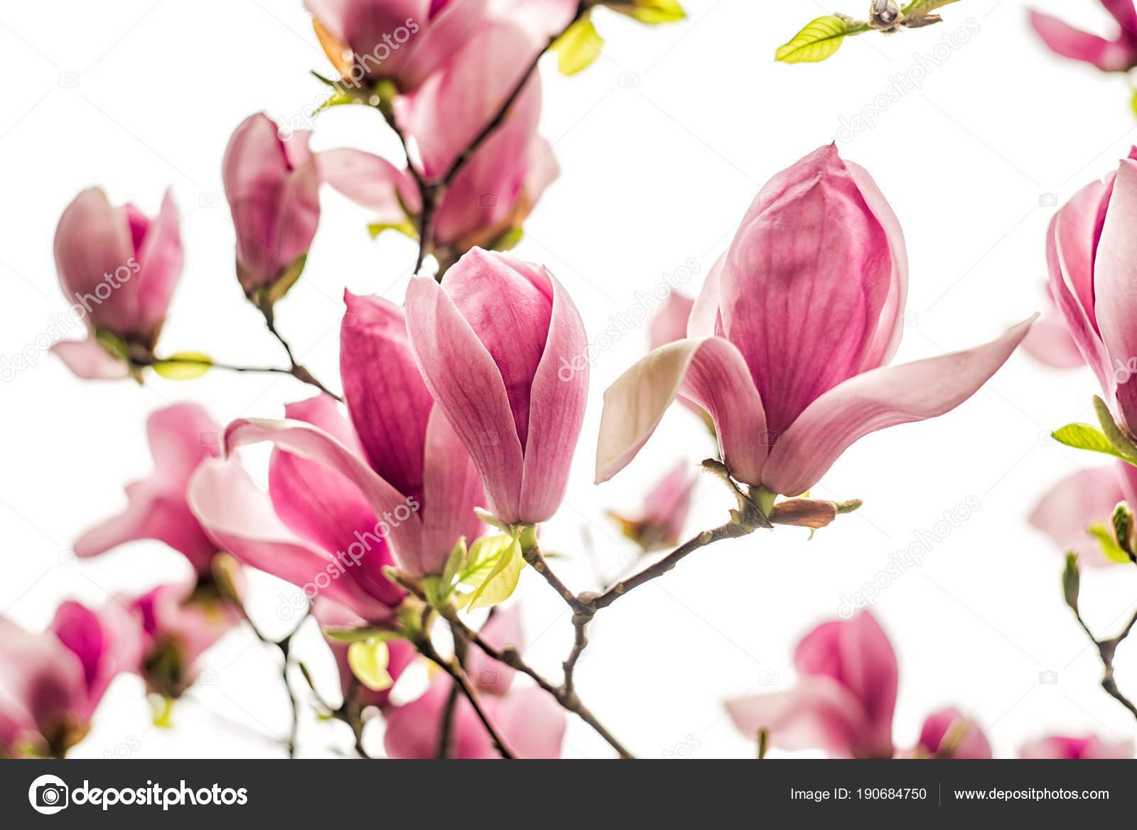 Fiori Bianchi Rosa E Viola Magnolia Cinese Su Un Albero Su Uno