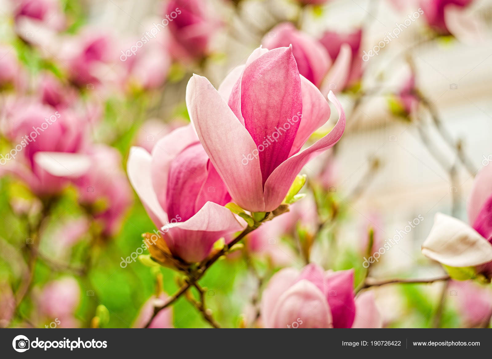 White Pink And Purple Chinese Magnolia Flowers On A Tree On A Blue