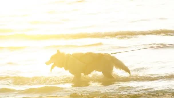 adorable Husky am Strand an einem sonnigen Tag