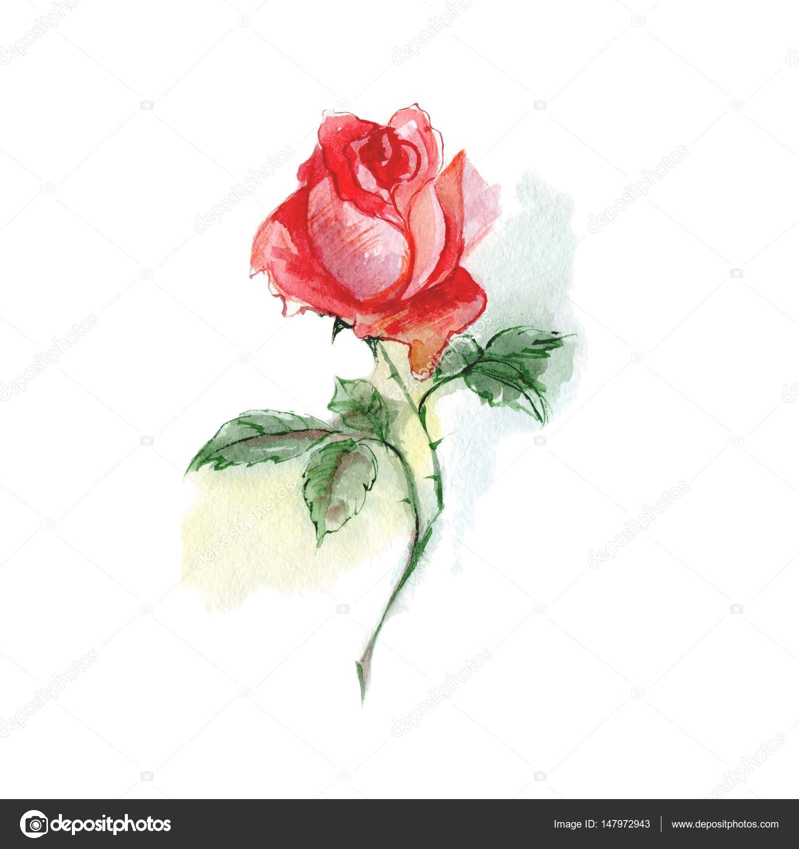 Single Flower Watercolor Red Rose Stock Photo