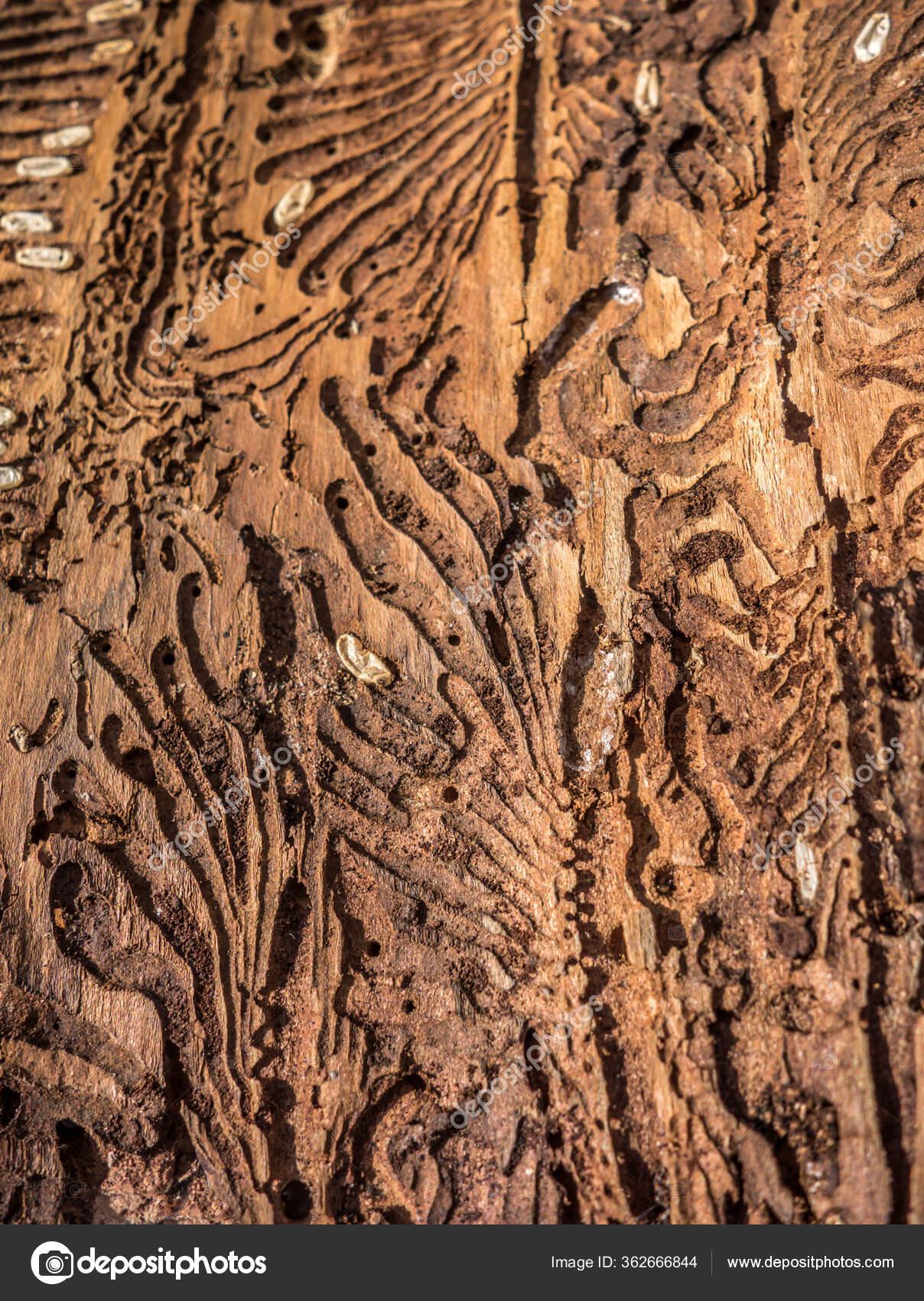 Traces of a pest on a tree bark closeup
