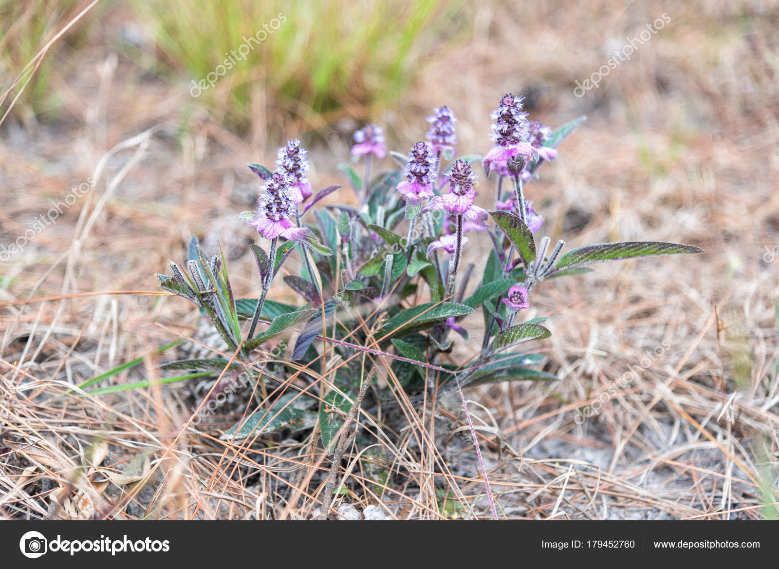Small Purple Flower Blooming In Spring Time Stock Photo Ohm41