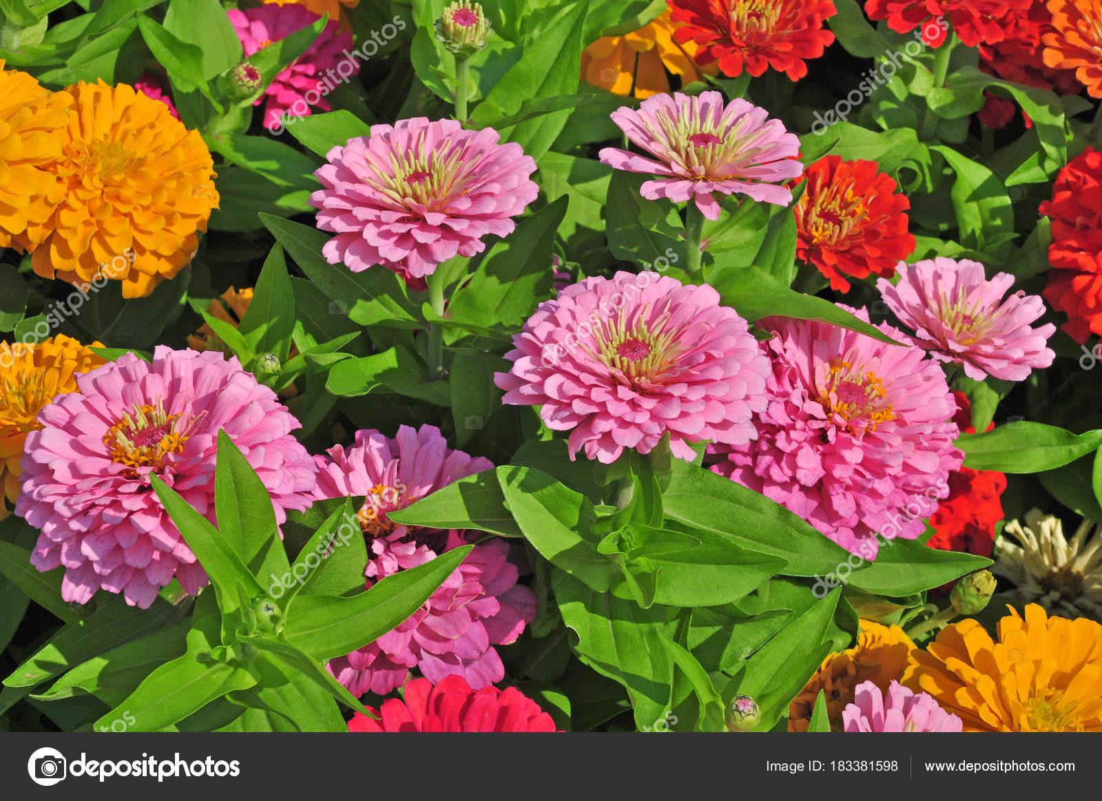 Jardin avec des fleurs magnifiques multicolores\u2013 images de stock libres de  droits