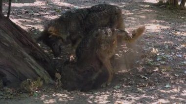 Two Wolves digging at the root of a tree, with the mating ritual,4k ultra hd, real time