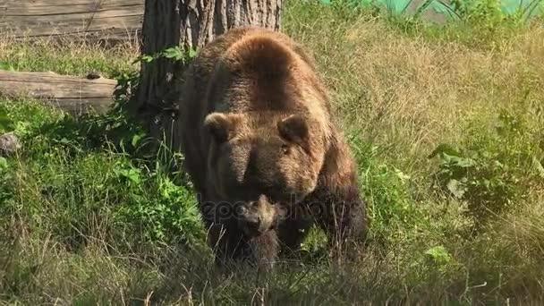 Velký hnědý medvěd chodit na zelený Les, reálném čase, 4k ultra hd