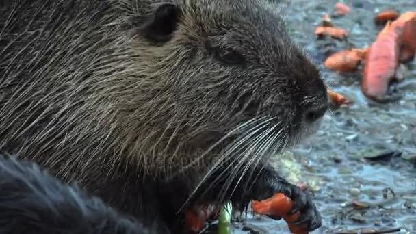 かわいい野生の毛皮のような捕獲 (川のラット、ヌートリア) を食べる