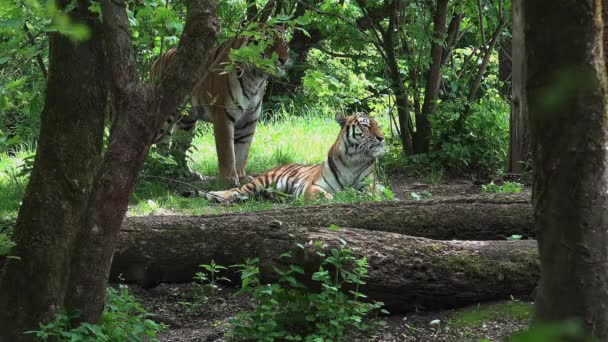 Two tigers are mating in the woods