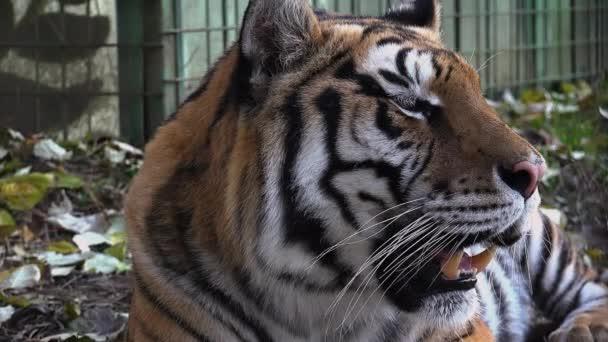 Odpočívající tygr ussurijský