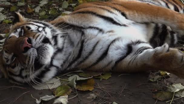 A szibériai tigris pihen
