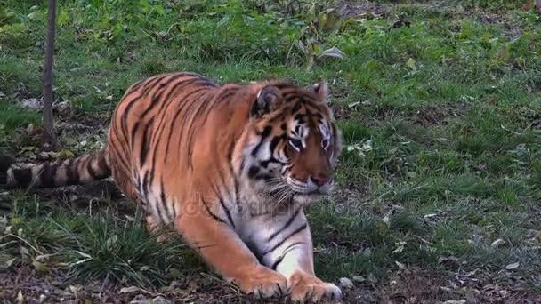 Odpočívající tygr bengálský