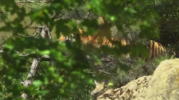 A bengáli tigris volt, séta az erdőben