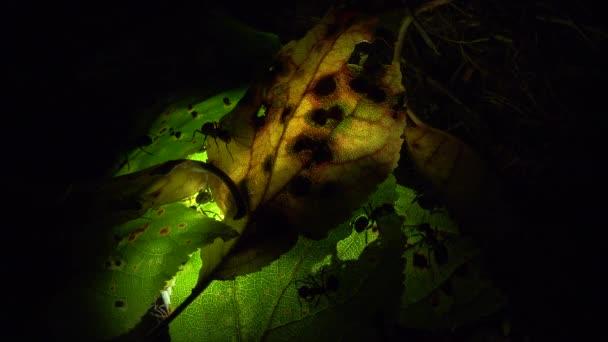 Kolonie mravenců na uměle osvětlený list