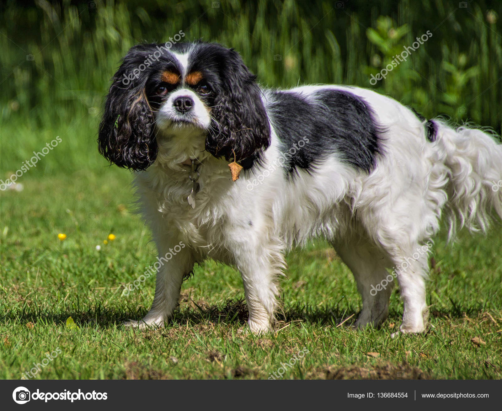 Female Tricolor Cavalier King Charles Spaniel Stock Photo C Traceyd22 136684554