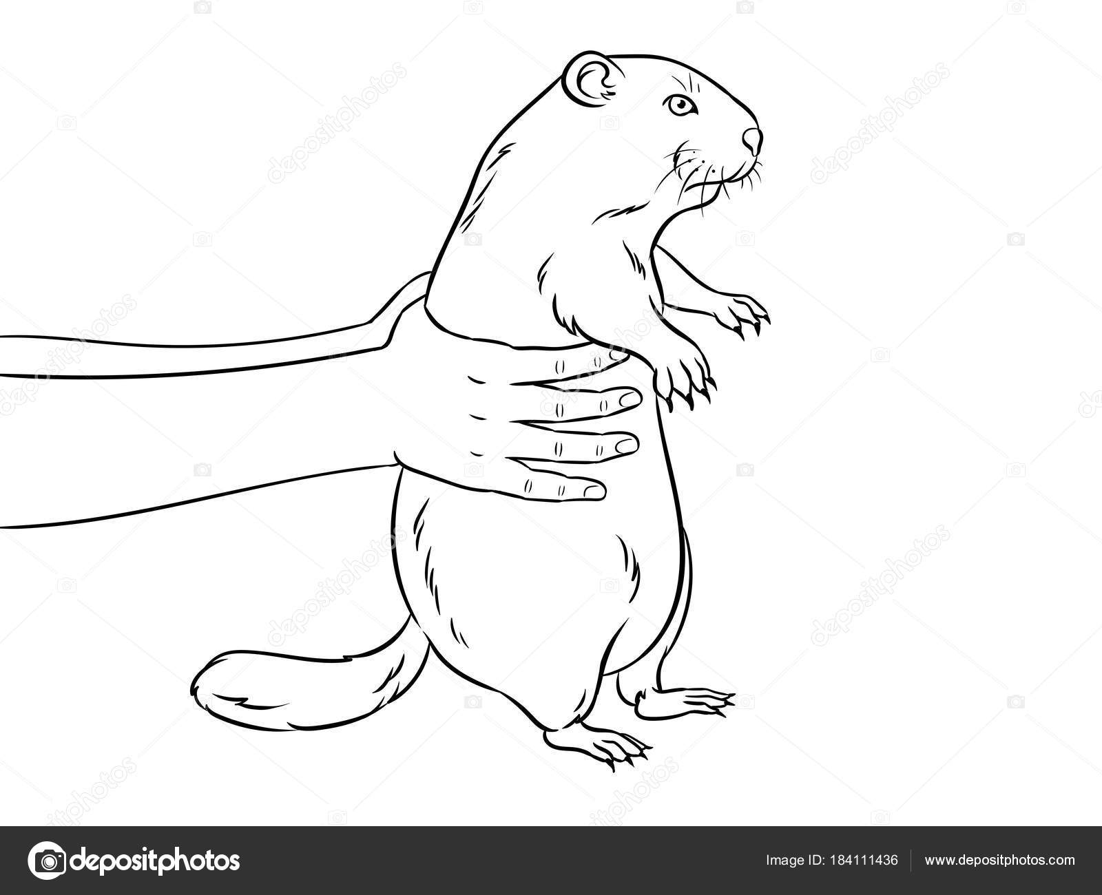 Marmota en manos vector libro de colorear — Vector de stock ...