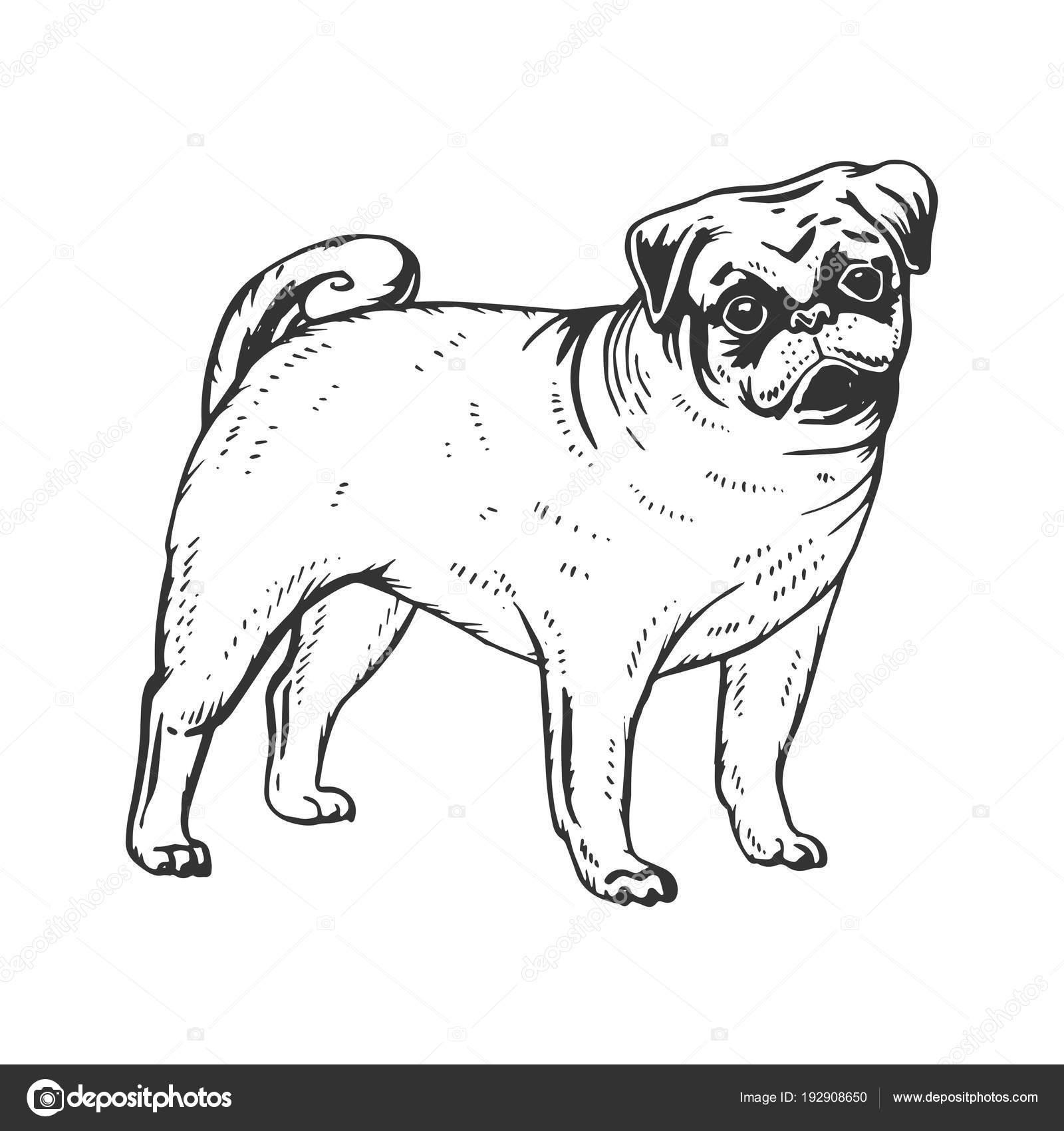 Perro Pug grabado ilustración vectorial — Archivo Imágenes ...