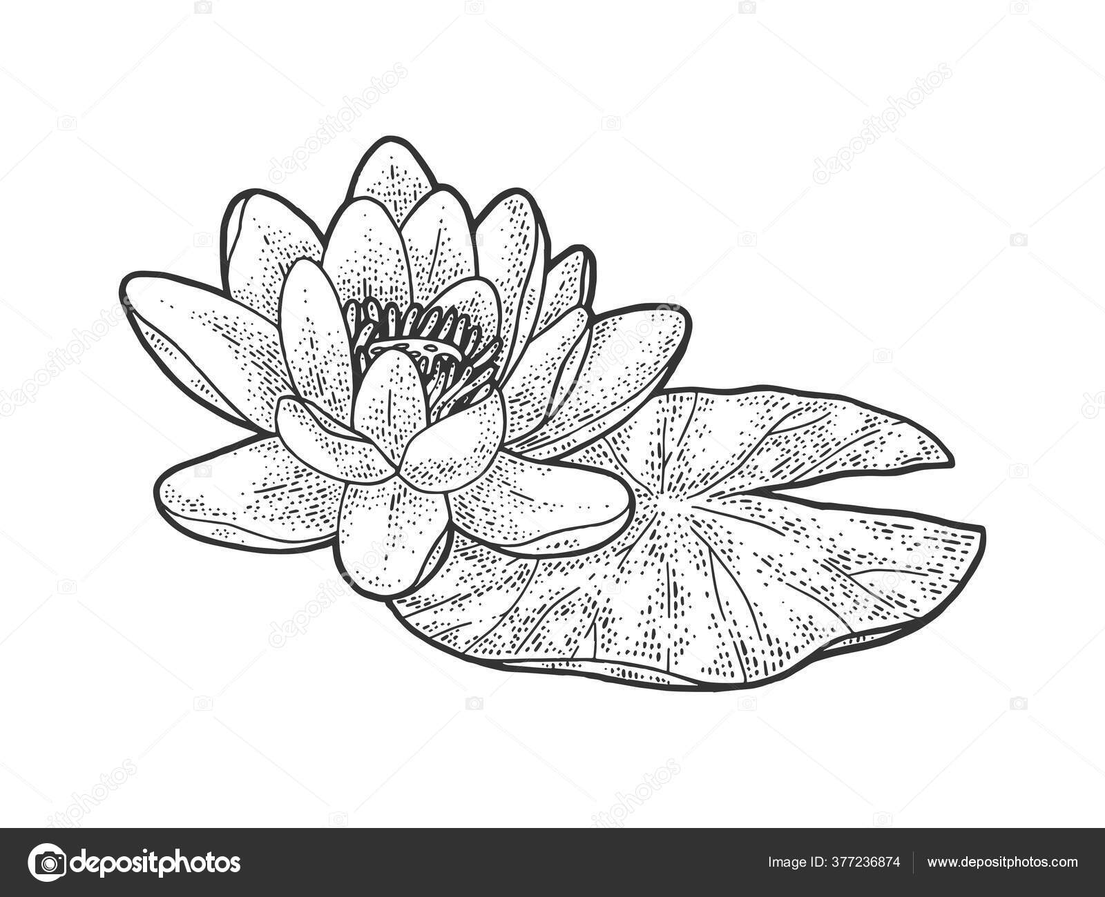 Lotus Nelumbo Water Lily Flower Sketch Engraving Vector Illustration T Shirt Apparel Print Design Scratch Board Imitation Black And White Hand Drawn Image Vector Image By C Alexanderpokusay Vector Stock 377236874