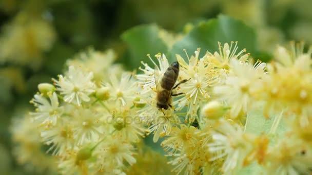 Včely na kvetoucí lipové květy na slunečný den v zahradě