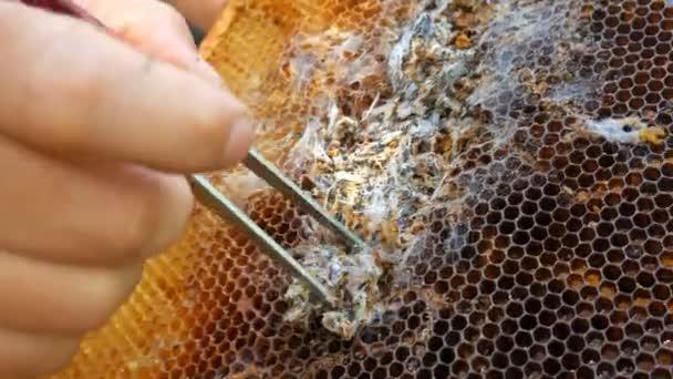 Larva zavíječ kousnutí plástev.