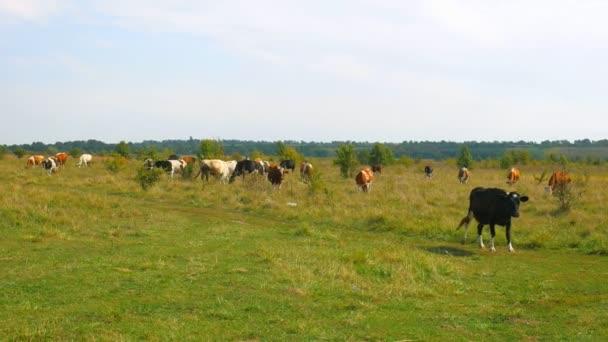 Cows grazing on pasture. Cows grazing on pasture.