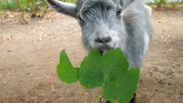 Eine Ziege frisst ein Weinblatt aus den Händen eines Mannes
