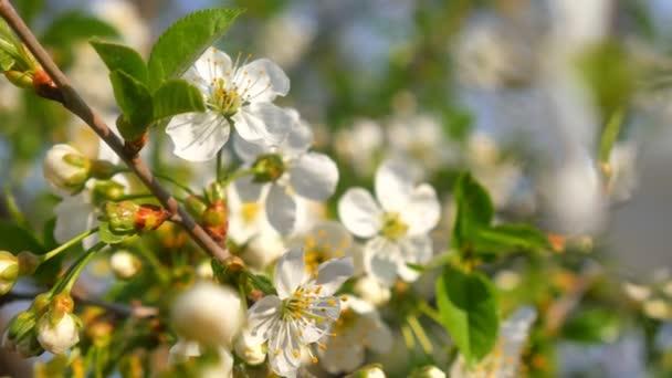 Fehér cseresznye fa virágzik tavasszal, zöld levelek.