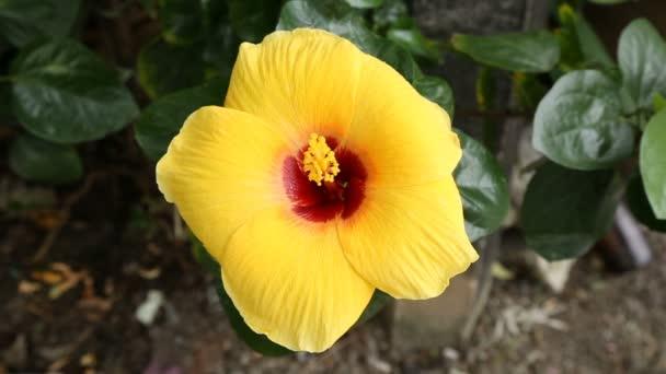 A Hibiscus sárga virágot közelről felvétel