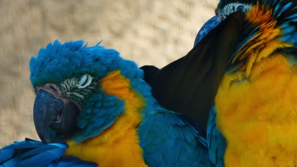 Ultra closeup shot of 3 critically endangered cute blue-throated macaws playing with each other