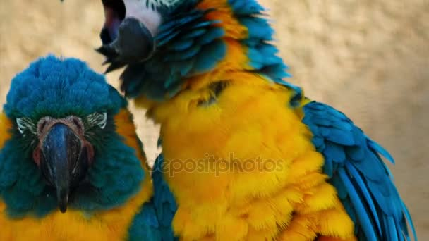 Nahaufnahme von 2 Blaukehlaras - ara glaucogularis -, die für die Kamera posieren