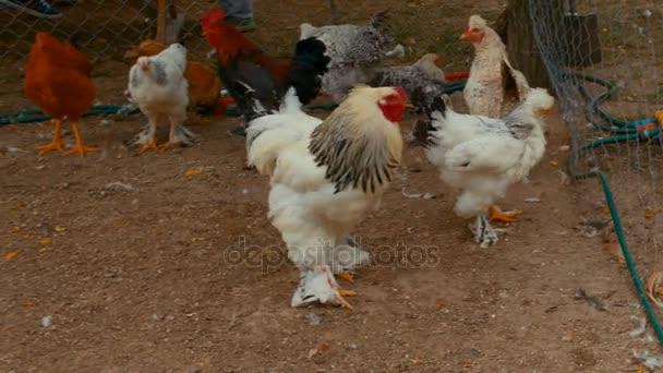 Různá plemena kuřete na ekofarmě udržitelného