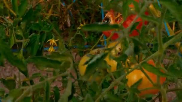 Červené a žluté rajčata na ekofarmě udržitelného