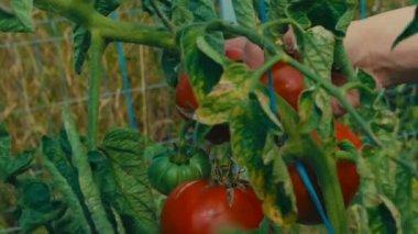 Close-up opnamen tomaat takken met vruchten binnen grote serre ...