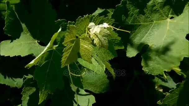 Grape leaves growing outdoors in the garden