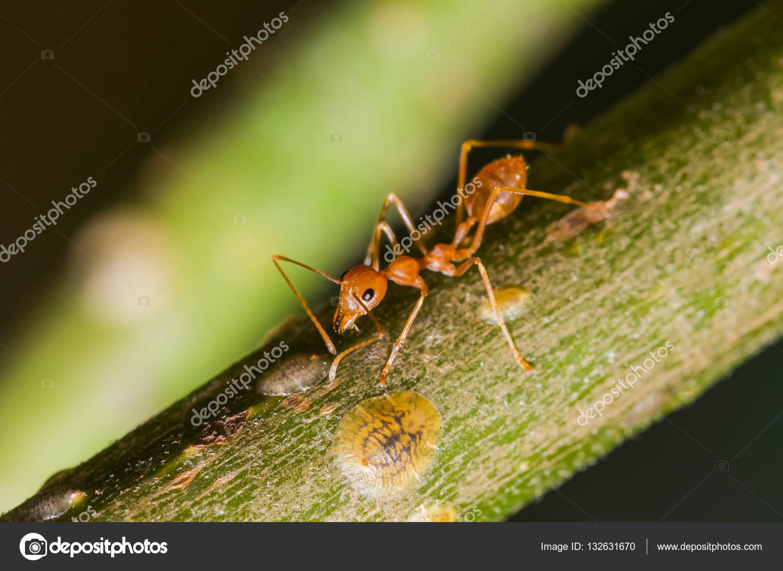 The Working Ants Stock Photo Suwatsir 132631670