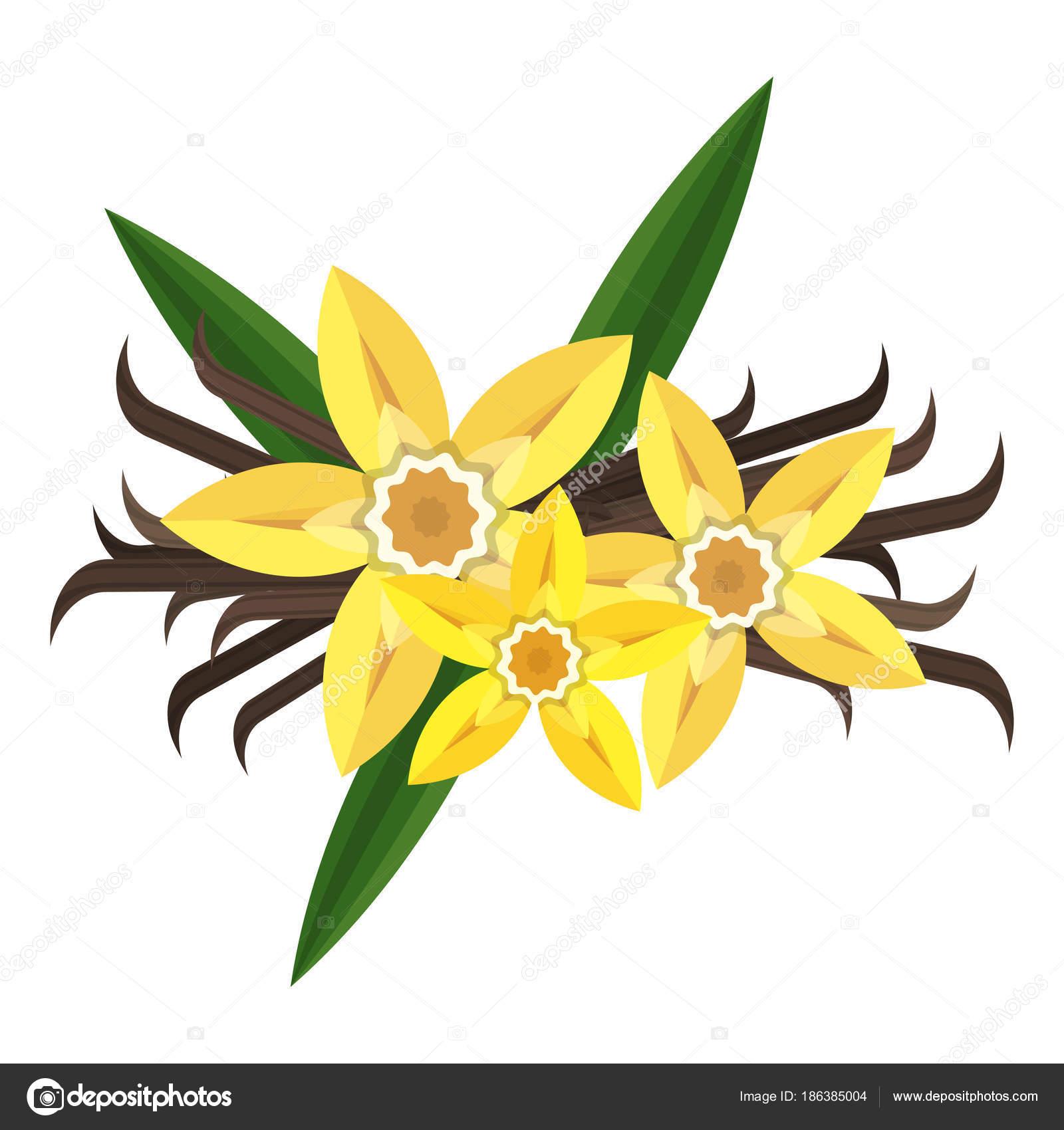 Vanille fleur plate illustration image vectorielle quarta 186385004 - Vanille dessin ...