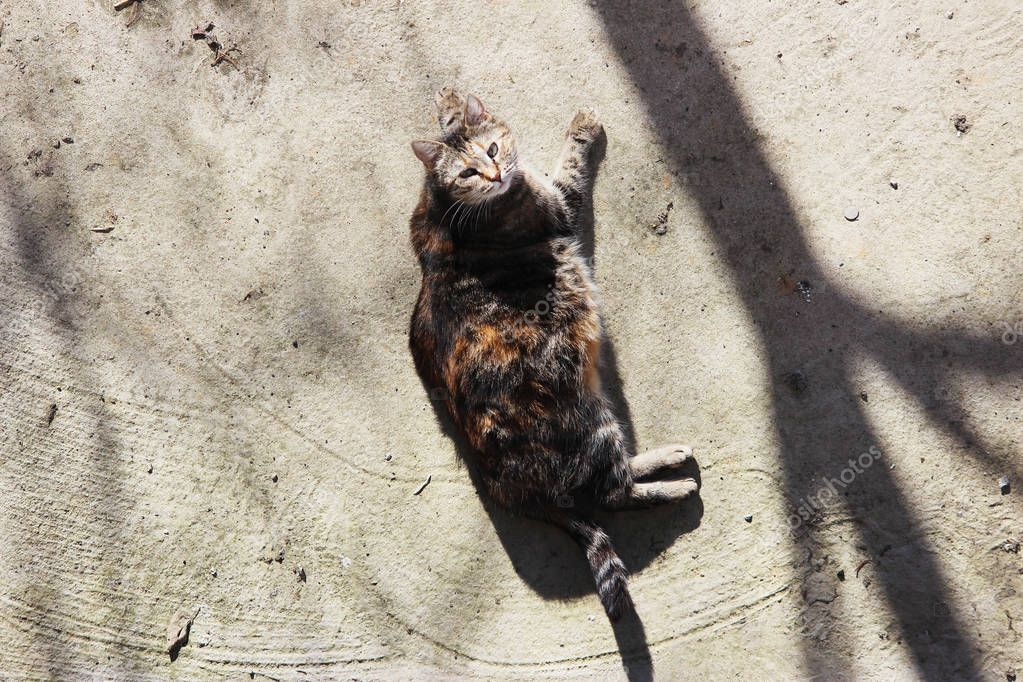 pregnant cat infected with feline herpesvirus - Feline viral rhinotracheitis or chlamydiosis - Chlamydia psittaci is heated on a spring sun on a concrete warm surface