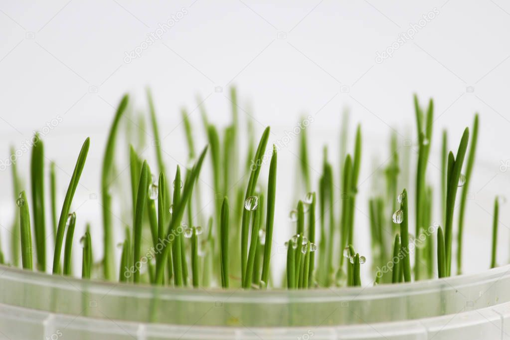 young sprouts of oats sprouted for cats in the winter to improve digestion and as a source of vitamins and enzymes. green grass with drops of dew