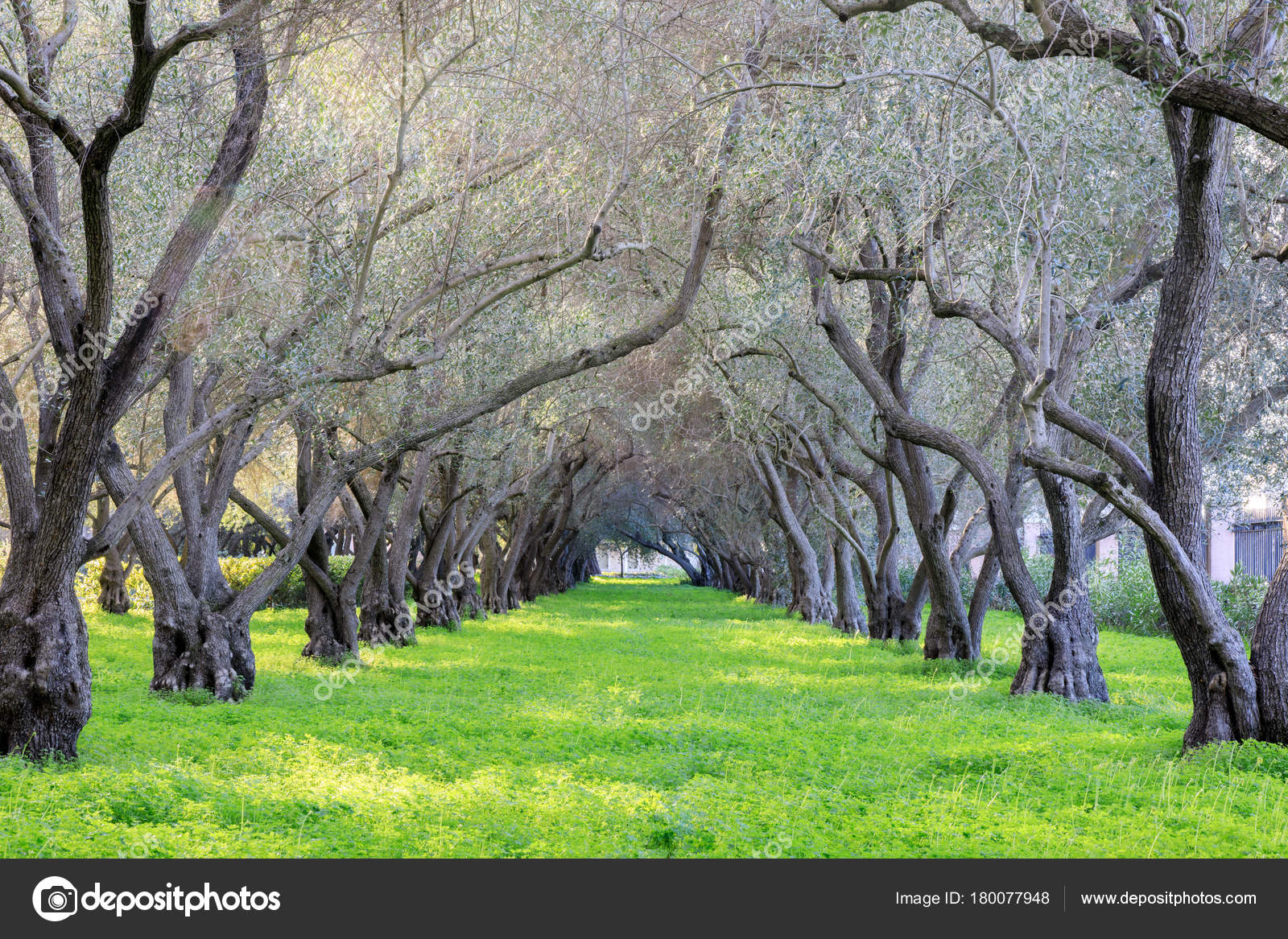 Olive Grove Tranquility Carmelite Monastery San Francisco Carmel Infant  Jesus U2014 Stock Photo