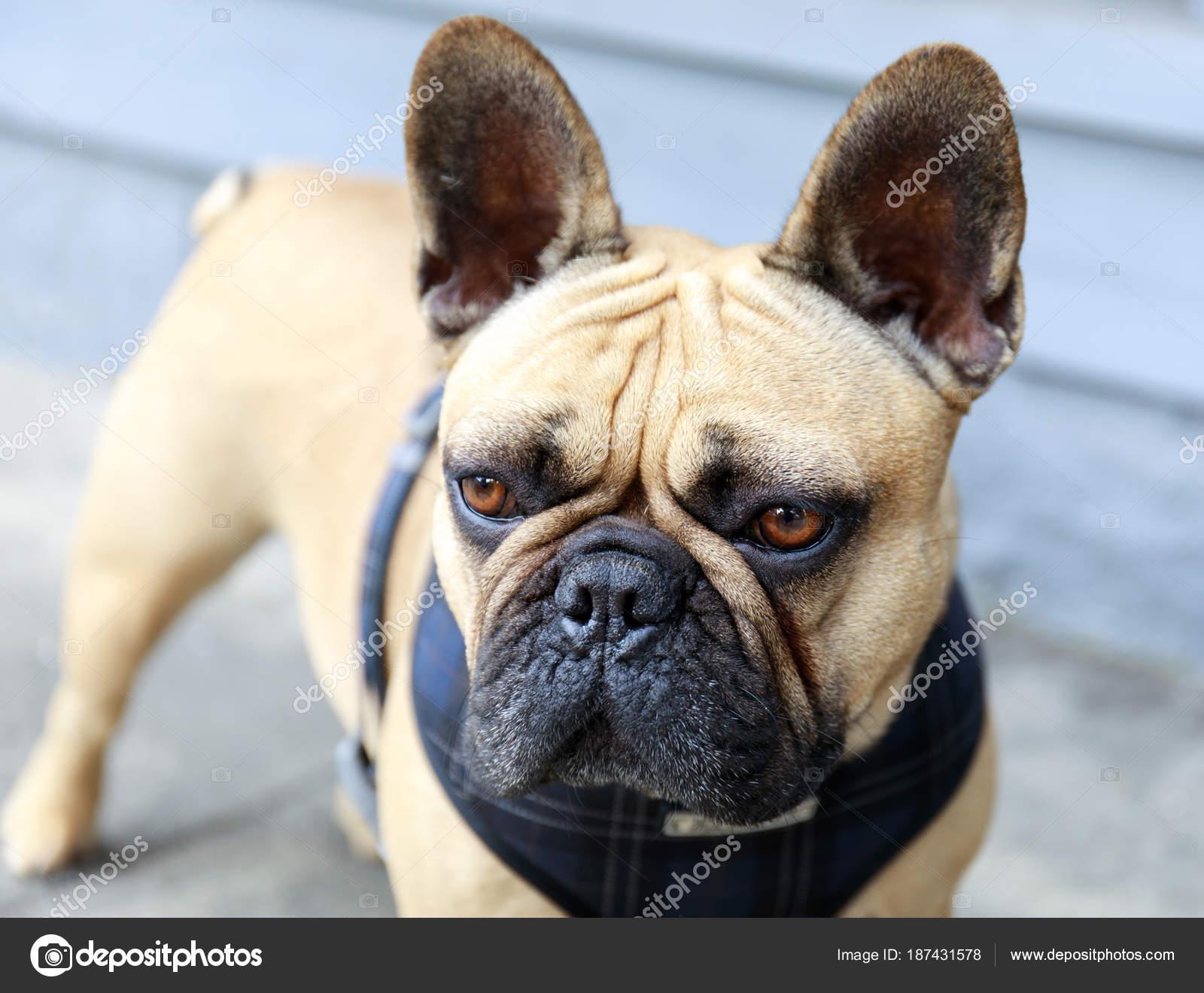 Bulldog Francese Adulto Fulvo Maschio Una Strada San Francisco