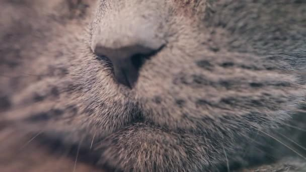 British Cats Nose And Mouse Close-up.