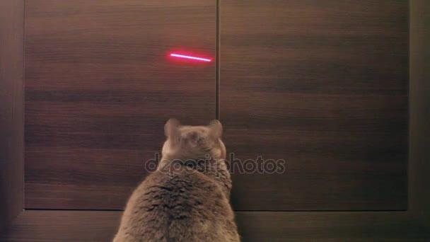Britská kočka si hraje s červenou tečkou. Dřevěné pozadí.