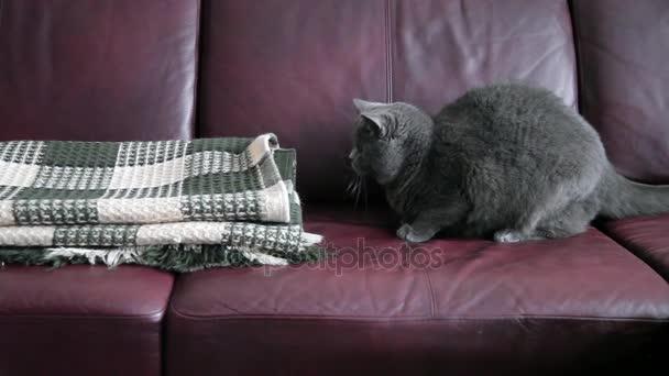 Brit macska vadászik, és játszik egy zöld pokróccal