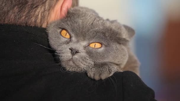 British Cat hugging a man outdoor on winter background. Close-up cat.