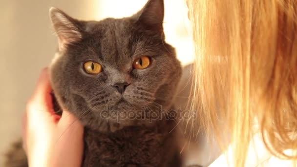 Žena objímala kočka britské v žlutém slunečním světle. Detail kočka.