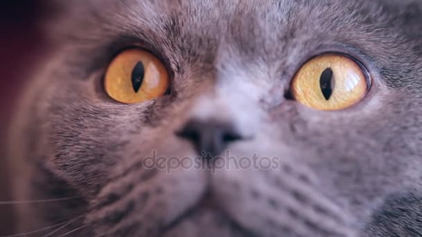 Cat With Big Orange Eyes Close-up Looking  At The Camera . Cats Nose And Mouth Close-up. British Cat.