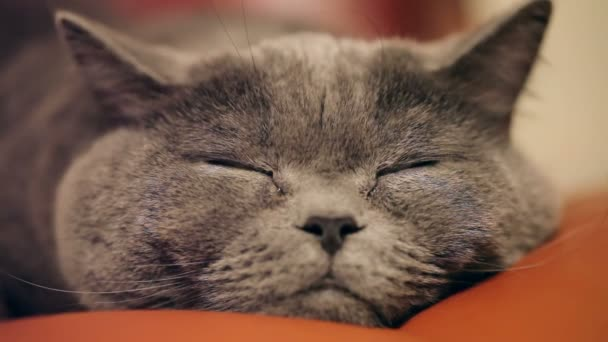 Közeli kép: egy gonosz macska szeme és az orra. Brit macska.