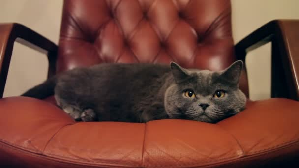 Cat With Big Orange Eyes Lying In Red Boss Chair. British Cat.