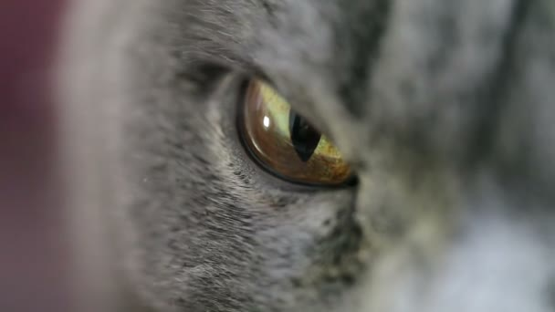Close-up Of An Evil Cats Eye And Nose. British Cat.