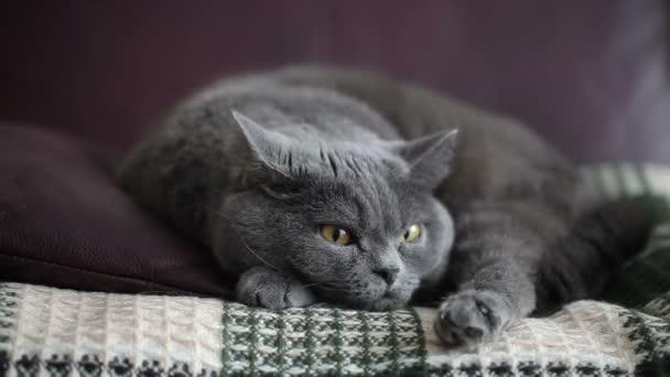 Nagy narancssárga szemmel ül a borból kanapé és vicces látszó macska. Brit macska.