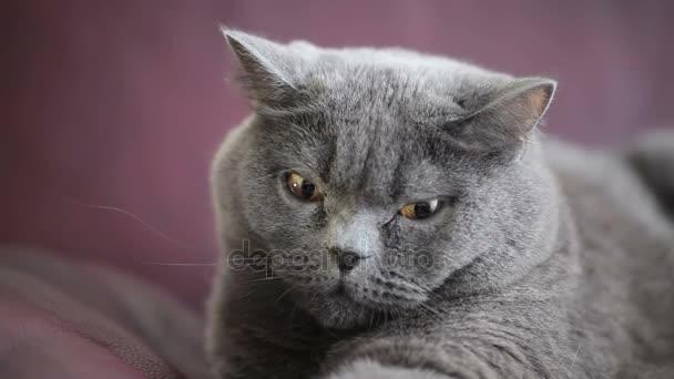 Cat With Big Orange Eyes Sitting on Vinous Sofa And Funny Looking. British Cat.